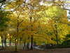 Central_park_yellow_tree_4